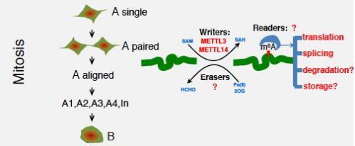 m6A mRNA修饰调控哺乳动物精子发生的最新进展及其存在的问题和挑战