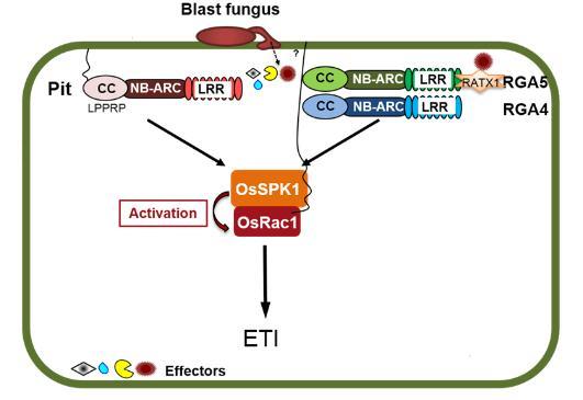 水稻鸟苷酸交换因子GEF蛋白OsSPK1正调控免疫反应的机制