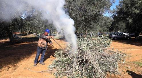 摧毁被叶缘焦枯病菌感染的橄榄树在意大利引发争议