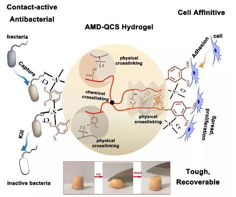 仿贻贝接触增强抗菌策略制备抗菌水凝胶
