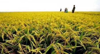 水稻:NRT1.1B对硒代蛋氨酸具有吸收和转运功能