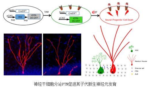 神经干细胞分泌PTN促进其子代新生神经元发育