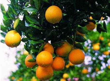 常山胡柚文化节:胡柚产业转型升级之路