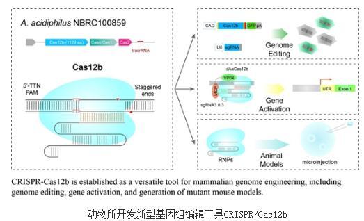 新型基因组编辑工具CRISPR/Cas12b:能够编辑人类细胞基因组