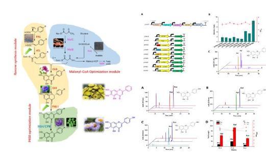 基因构建一种能定向合成黄芩素或野黄芩素的大肠杆菌