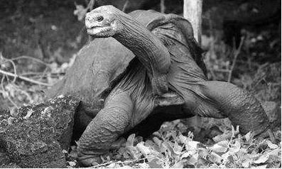 """""""孤独乔治""""和阿尔达布拉象龟基因组测序研究比较"""