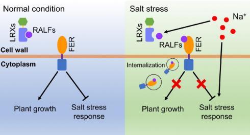 揭示盐胁迫下RALF多肽如何调控FER蛋白的活性