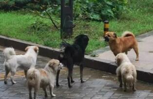 河南拟禁养50种犬,牧羊犬、大丹犬、藏獒......