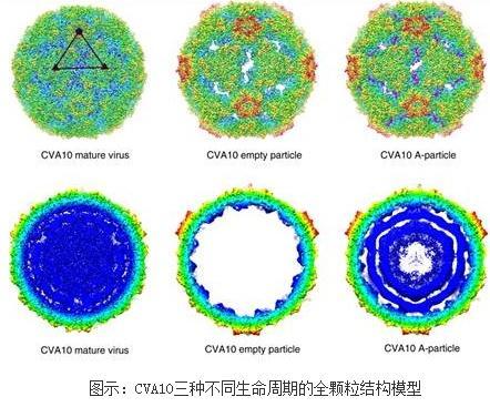 手足口病毒柯萨奇A10三种不同生命周期的全颗粒结构模型