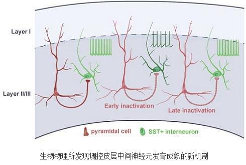 阐明了运动皮层M2中Somatostatin阳性中间神经元自身发育机制