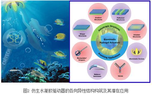 近年来仿生各向异性水凝胶驱动器相关研究的最新进展