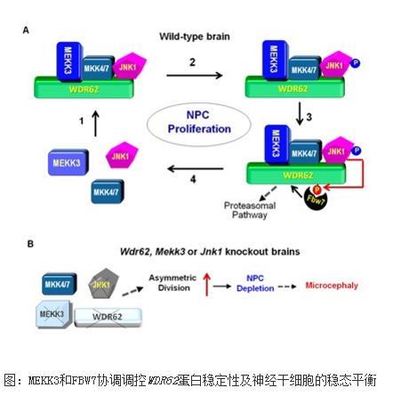 ?WDR62基因突变:小头症的发病机制