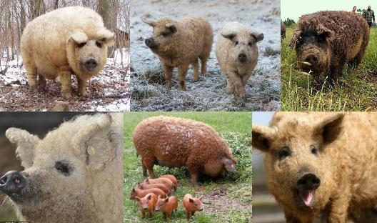 匈牙利卷毛猪多少钱一只?卷毛猪养殖历史