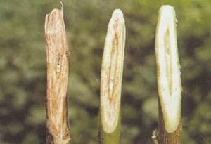 首次阐明大丽轮枝菌引起棉花等寄主落叶的分子机制