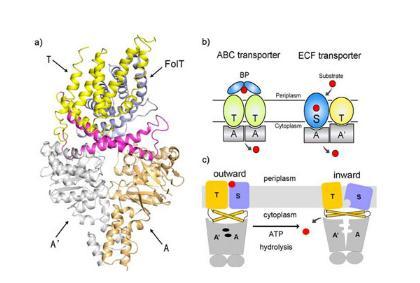 Slc12a8转运蛋白:发现细胞燃料输送新路径