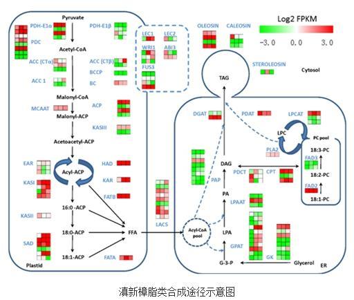 滇新樟种子含有较多长链脂肪酸很可能与其FATB基因有关