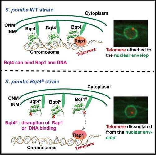 揭示Bqt4在端粒-核膜连接中发挥功能的分子机制