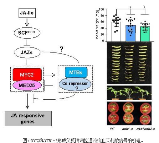 MYC2-MED25调控茉莉酸信号的终止