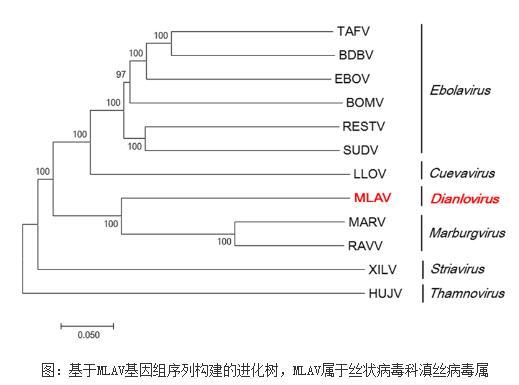 勐腊病毒MLAV:一株蝙蝠丝状病毒特征鉴定