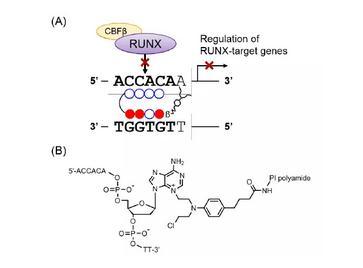 新型烷基化DNA-PI聚酰胺药物结合RUNX转录因子的分子特征