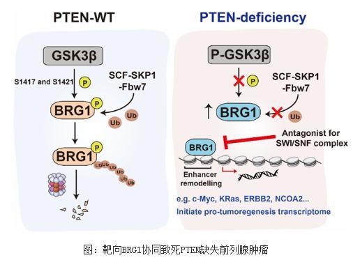 阐明PTEN和BRG1在肿瘤中发挥协同致死作用