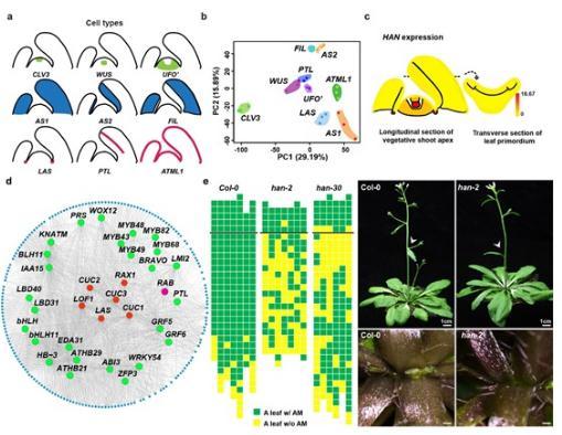 茎顶端和叶片不同区域特异的基因表达图谱