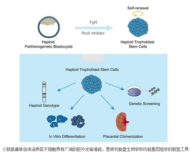 小鼠孤雌单倍体滋养层干细胞系成功建立