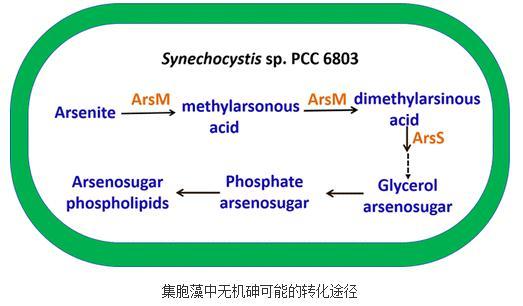 基于模式生物蓝藻将毒性较强的三价砷转化成砷糖和砷糖磷脂的研究
