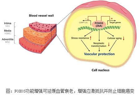 靶向编辑FOXO3产生世界上首例遗传增强的人类血管细胞