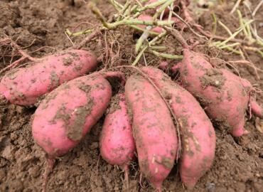 地瓜的种植方法和时间,地瓜品种有多少种?
