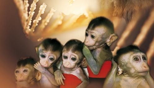 世界首例生物节律紊乱体细胞克隆猴模型诞生