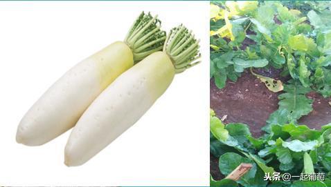 白萝卜销售难烂在地里,农民卖不掉市民吃不起