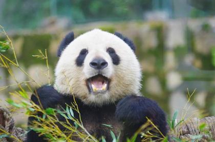 仿生材料:首次发现了大熊猫牙齿能够实现自修复