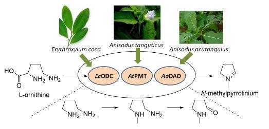 N-甲基吡咯啉的生物合成途径及微生物底盘细胞的构建