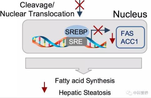 AMPK通过磷酸化修饰Insig调节脂肪酸合成