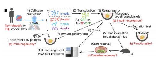 糖尿病治疗新希望:重编码人类胰岛非β细胞也可产生胰岛素