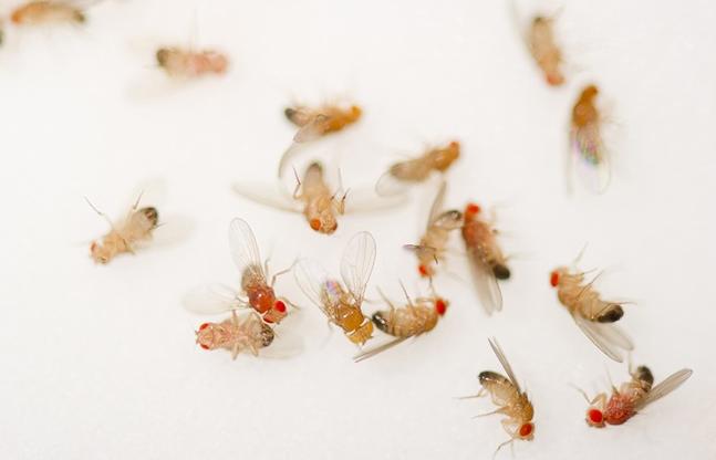 科学家对果蝇运动的研究将影响医学和无人驾驶等领域