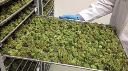 大麻合法化呼声加强,浅析大麻产业化应用方向与价值