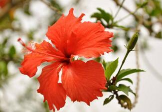 扶桑花的养殖方法,扶桑为什么不能在家养?