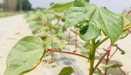 棉花种植:缩节胺的使用方法与应用