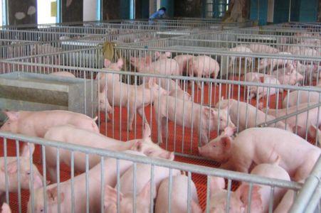 面对非洲猪瘟,生石灰粉怎么消毒?
