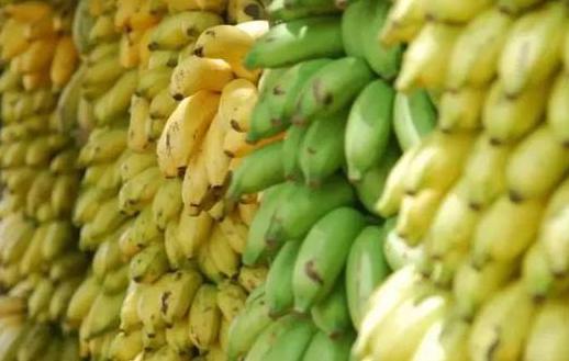 香蕉再次面临灭绝威胁,香蕉条纹病毒能否有解决方法?