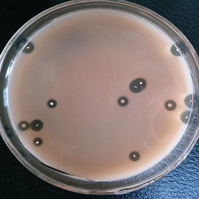 粪肠球菌的作用与功效及在水产养殖中的应用