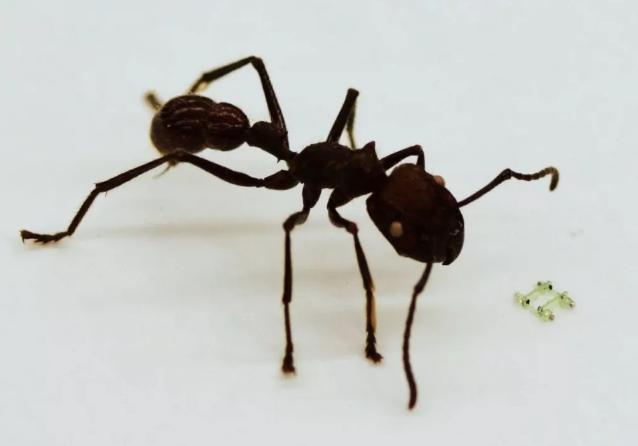 马里兰大学发明一款比蚂蚁头还小的四足机器人