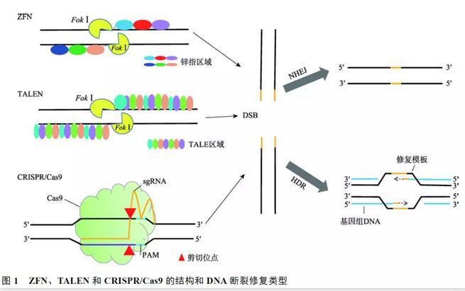 基因编辑技术研究进展与挑战,及在基因治疗中的应用