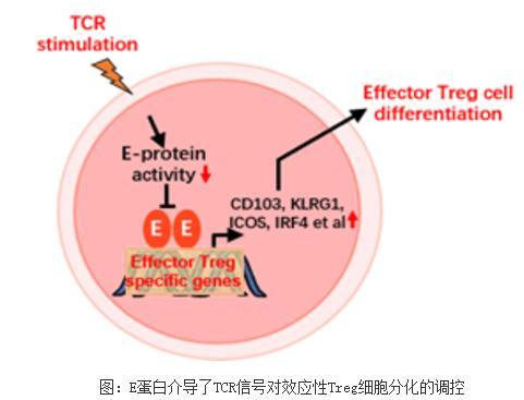 揭示E蛋白介导了TCR信号对效应性Treg细胞分化的调控