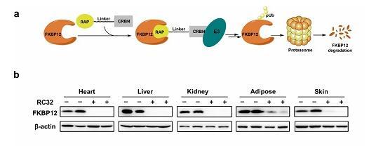 PROTACs首次成功实现恒河猴体内蛋白快速敲降