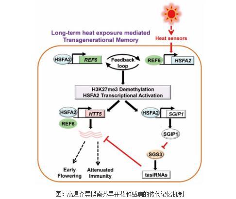 高温介导拟南芥早开花和感病的传代记忆机制