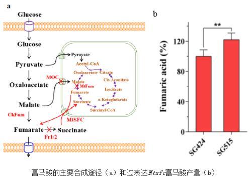 嗜热真菌为底盘细胞发酵合成大宗化学品研究进展