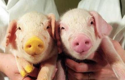 美国转基因或基因编辑家畜项目监管现状